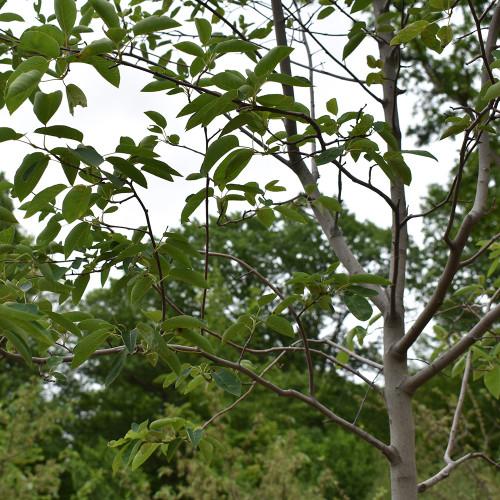 Amelanchier x grandiflora 'Ballerina' (Treeform)