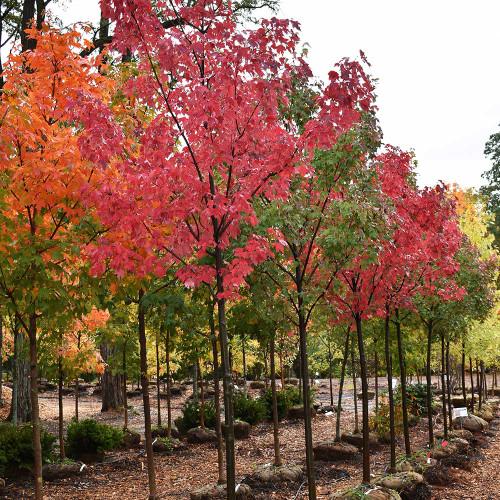 Acer rubrum 'Autumn Radiance'
