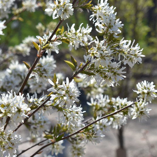 Amelanchier laevis (Clump)