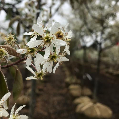 Amelanchier x 'Autumn Brilliance' (Treeform)