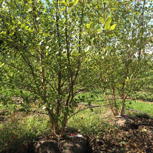 Betula nigra 'Heritage' (Clump)