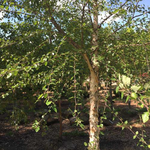 Betula nigra 'Heritage' (Treeform)