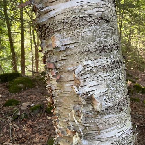 Betula papyrifera (Treeform)