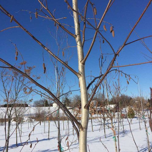 Betula populifolia 'Whitespire' (Treeform)