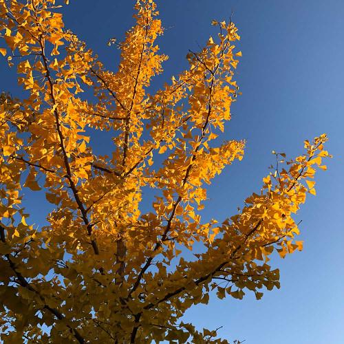Ginkgo biloba 'Autumn Gold'