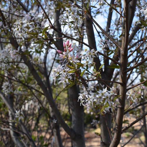 Amelanchier laevis 'Lustre' (Treeform)