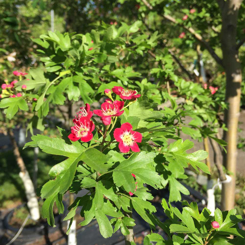 Crataegus laevigata 'Crimson Cloud' (Treeform)