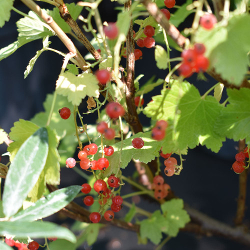 Ribes rubrum 'Red Lake'