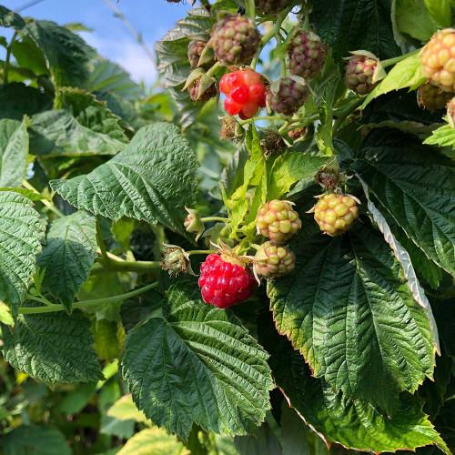 Rubus idaeus 'Caroline'