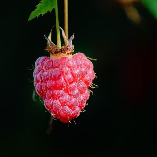 Rubus idaeus 'Polana'