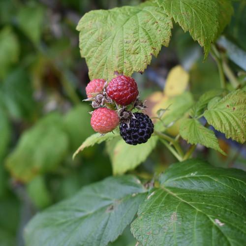 Rubus occidentalis 'Jewel'