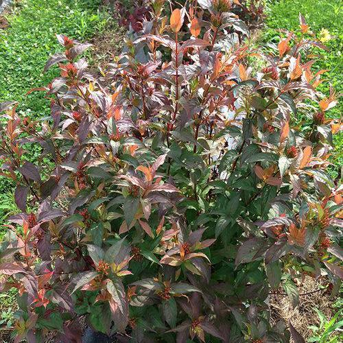 Diervilla rivularis 'Kodiak Red'