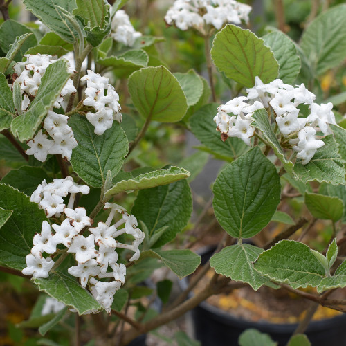 Viburnum carlesii 'Sugar n' Spice'