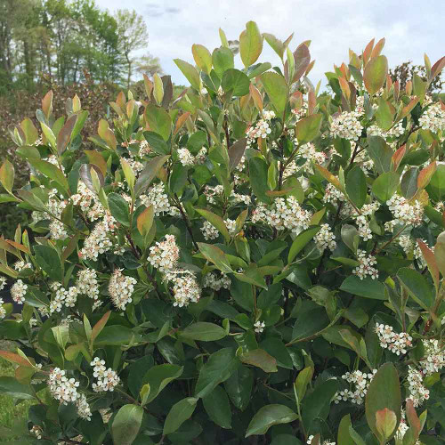 Aronia melanocarpa 'Low Scape Hedger'