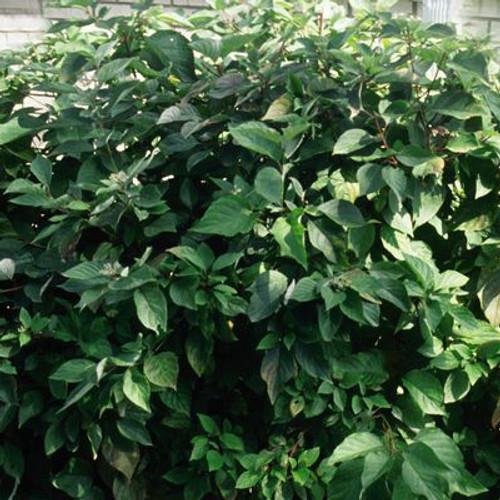 Cornus sericea 'Alleman's Compact'