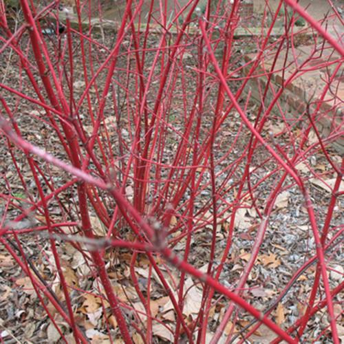 Cornus sericea 'Cardinal'