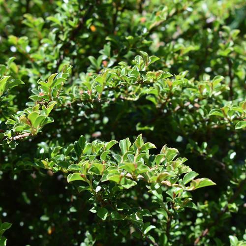 Cotoneaster adpressus 'Tom Thumb'