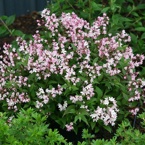 Deutzia gracilis 'Yuki Cherry Blossom'