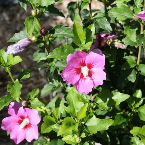 Hibiscus syriacus 'Lil Kim Violet'