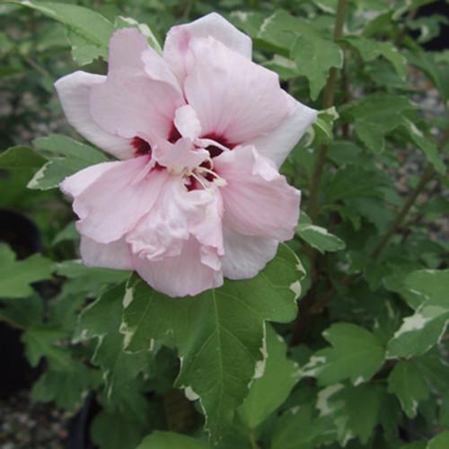Hibiscus syriacus 'Sugar Tip'