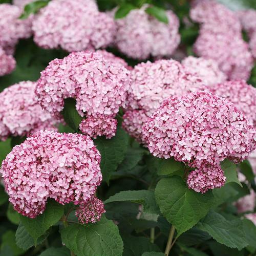 Hydrangea arborescens 'Incrediball Blush'
