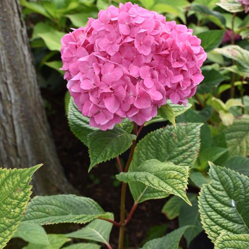 Hydrangea macrophylla 'Bloomstruck'