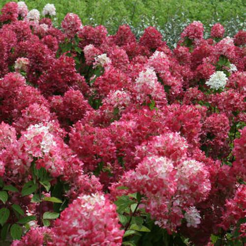 Hydrangea paniculata 'Diamond Rouge'