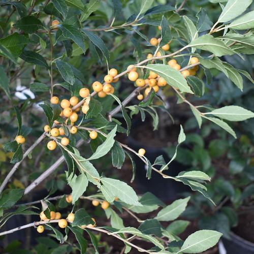 Ilex verticillata 'Berry Heavy Gold'