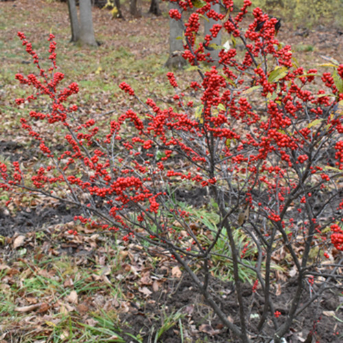 Ilex verticillata 'Winter Red'