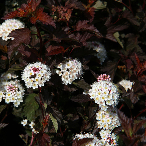 Physocarpus opulifolius 'Coppertina'