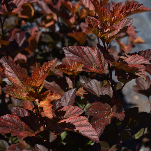 Physocarpus opulifolius 'Ginger Wine'