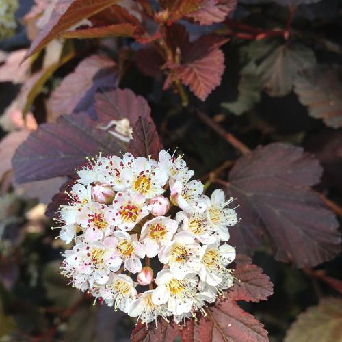 Physocarpus opulifolius 'Summer Wine'