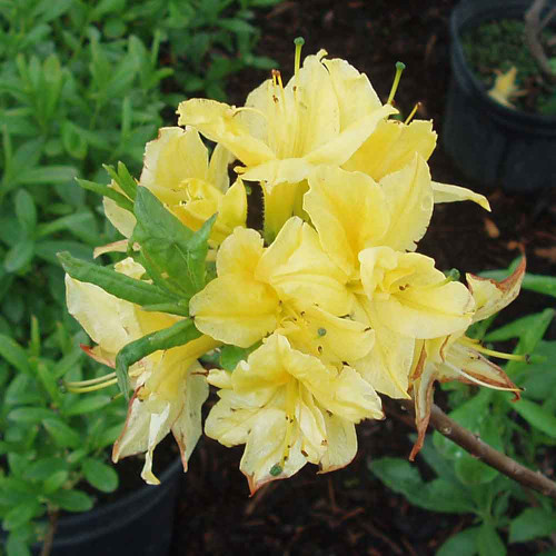 Rhododendron 'Lemon Lights'
