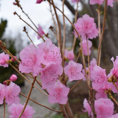 Rhododendron mucronulatum 'Cornell Pink'