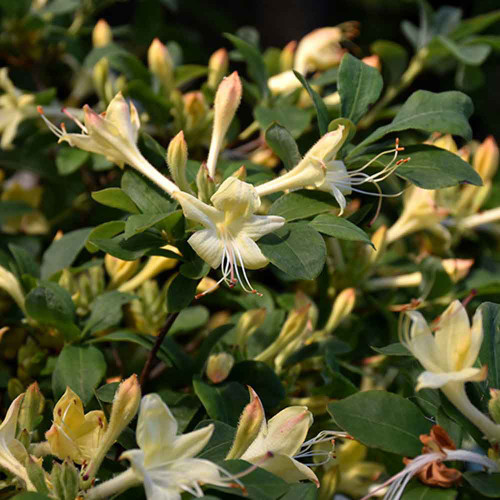Rhododendron viscosum 'Lemon Drop'