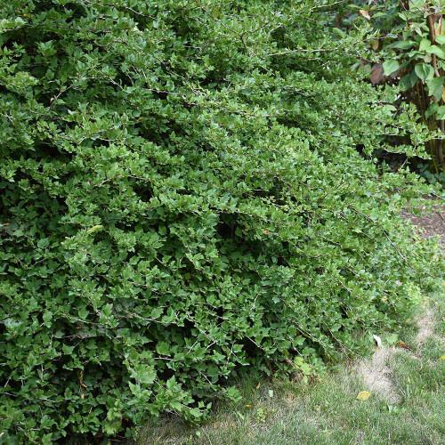Ribes alpinum 'Green Mound'