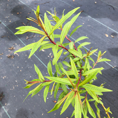 Salix sachalinensis 'Sekka'