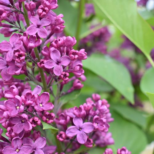 Syringa vulgaris 'Ludwig Spaeth'