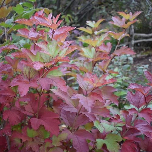 Viburnum trilobum 'Redwing'