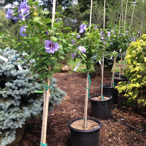 Hibiscus syriacus 'Blue Satin' Treeform