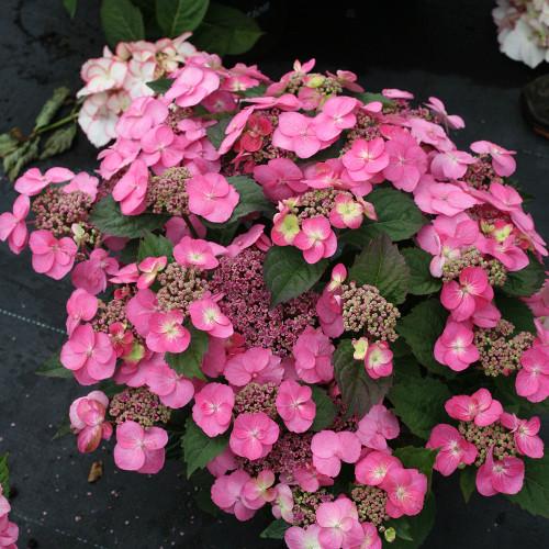 Hydrangea serrata 'Tiny Tuff Stuff'