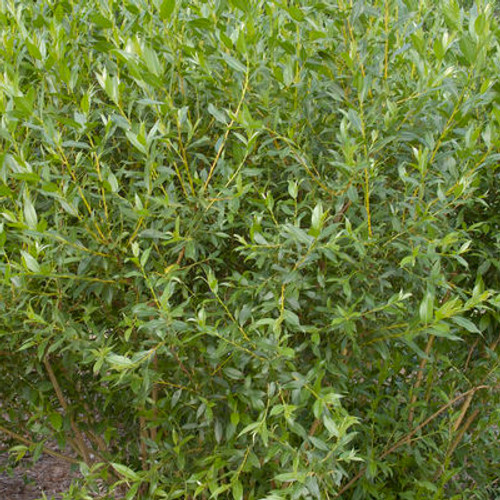 Salix x 'Flame'