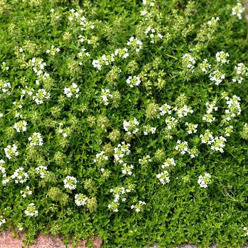 Thymus praecox 'Albiflorus'