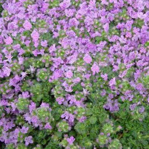 Thymus serphyllum 'Elfin'
