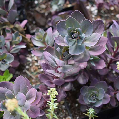 Sedum 'Plum Dazzeled'