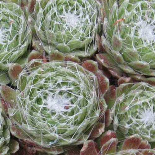 Sempervivum 'Cobweb Buttons'