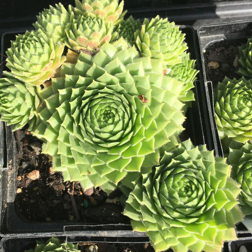 Sempervivum 'Green Wheel'
