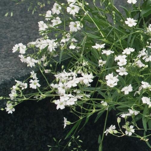 Gypsophila repens 'Filou White'