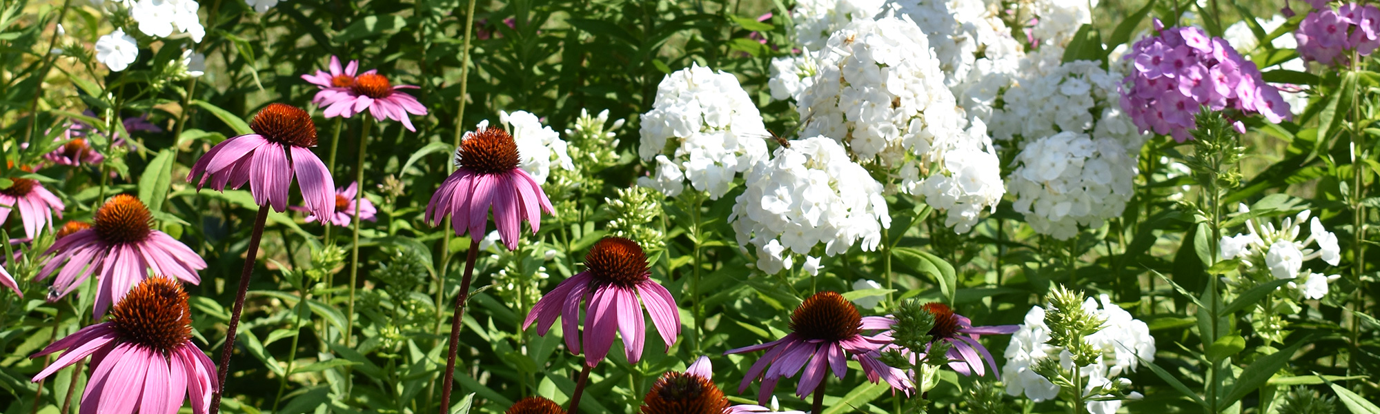Pink echinacea and white phlox in garden