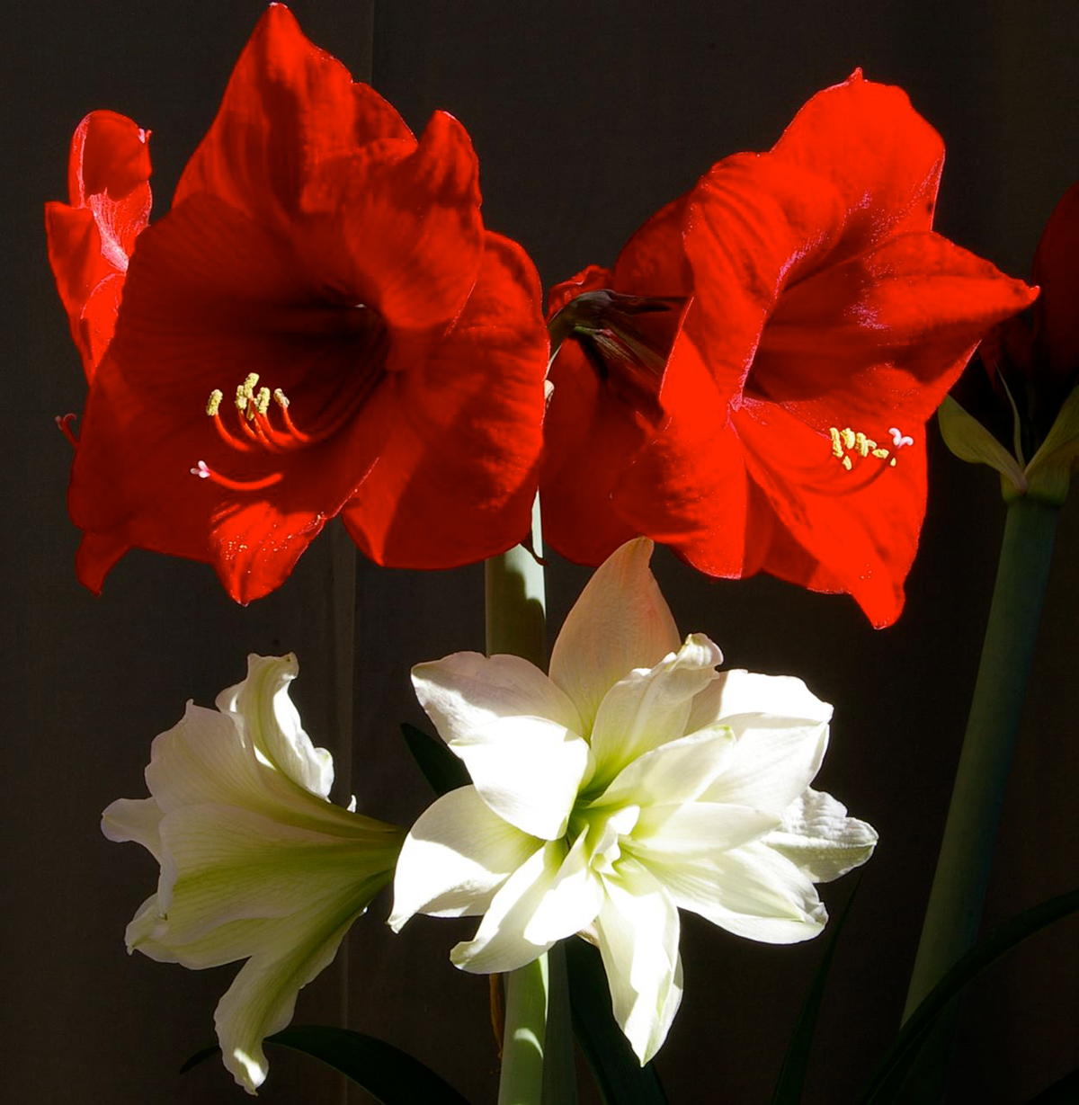 Red and white flowered amaryllis blooms
